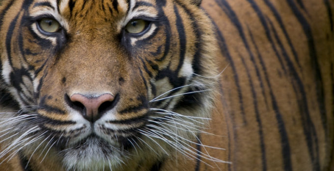 Tiger DNA