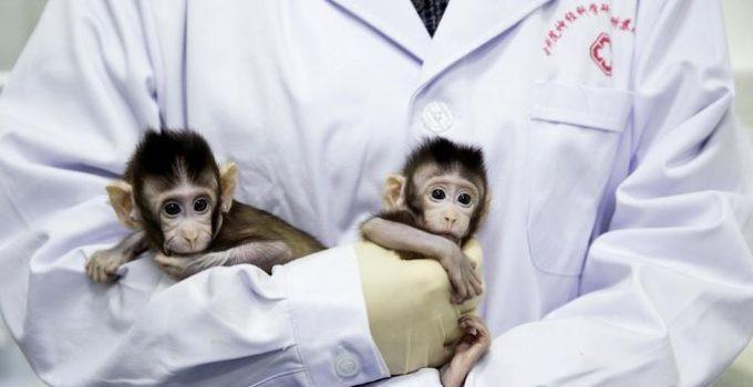 monkey-genuis